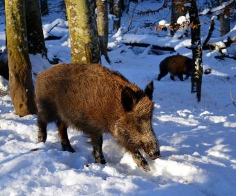 boar-2002317_1920.jpg